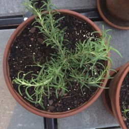 Sprawling rosemary in a flowering pot.