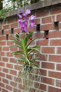 Hanging Orchid on the patio.