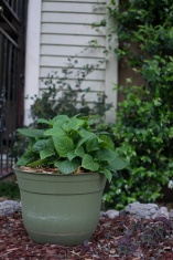 Cindy makes the most of the space at her doorstep by planting basil in a pot.