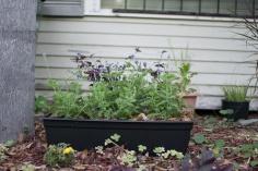 Cindy's small row of lavendar in her garden.