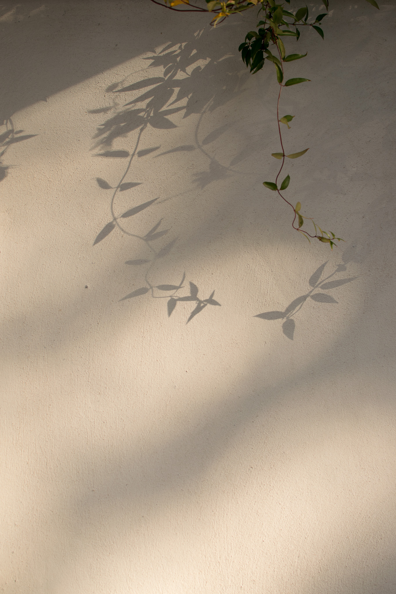 The vines cast a mysterious shadow on the courtyard wall.
